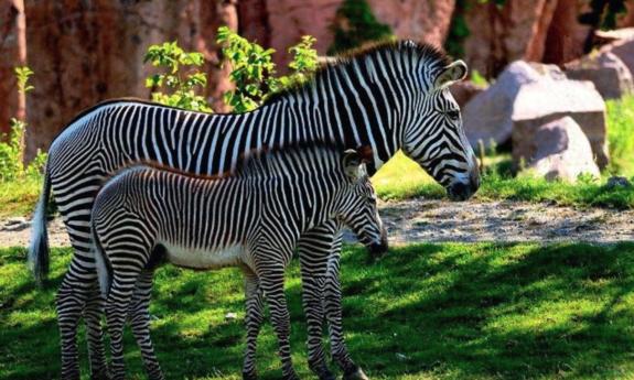 Zebras grazing in grass